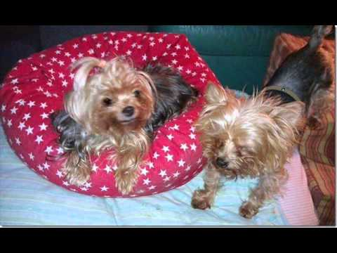 A Tribute to Lolita - a special little Yorkie who died today. 54